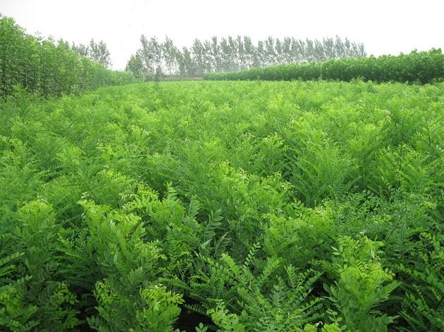 内蒙古绿化苗木