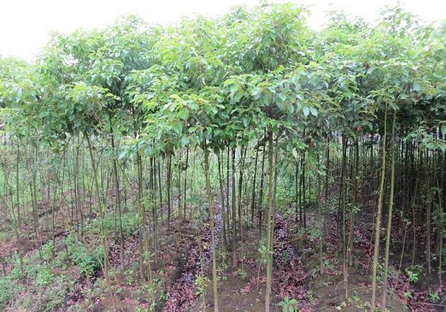 甘肃景观树