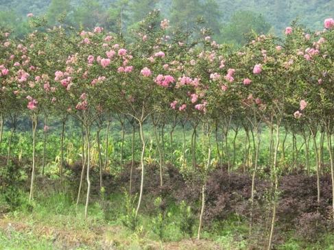 杨凌景观树