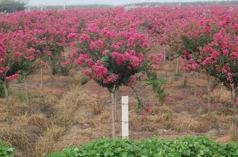新疆景观树