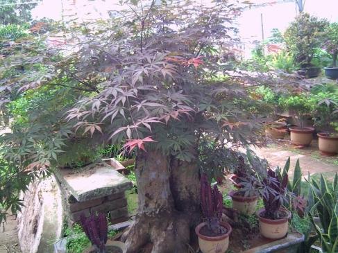 周至绿化苗木